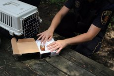 Działający w Straży Miejskiej Eko Patrol zabierze ranne zwierzę. Niestety czasem czeka się na niego godzinami.