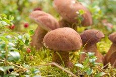 Polskie prawo jest niezwykle liberalne, jeśli chodzi o możliwość zbierania grzybów w państwowych lasach. Dla porównania, w Belgii i Holandii jest to całkowicie zabronione.