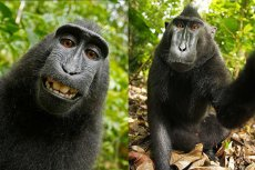 Makaka nie ma praw autorskich do swojego selfie. Sąd orzekł, że prawa takie nie rozciągająsię na zwierzęta.