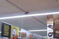 Szczur w Biedronce. Brr