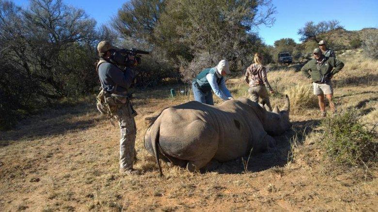 """""""Upolowany"""" przez Kendall nosorożec opatrywany przez weterynarza"""