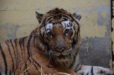 Tygrysy zostały sprawnie przeniesione do klatek transportowych i pojechały do Hiszpanii.