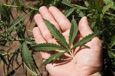 Marihuana w celach medycznych może być legalnie sprzedawana w Chorwacji.
