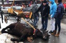 Koń leżał nieprzytomny na ulicy kilkadziesiąt minut.