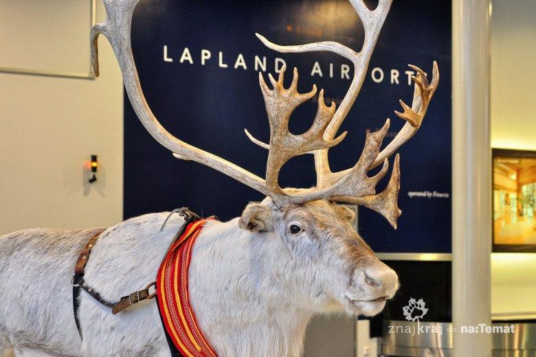 Renifer w hali lotniska w Kuusamo