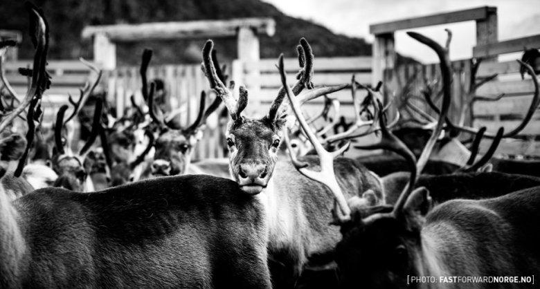 Młody renifer, któremu pozwolono kontynuować marsz na zimowe pastwiska