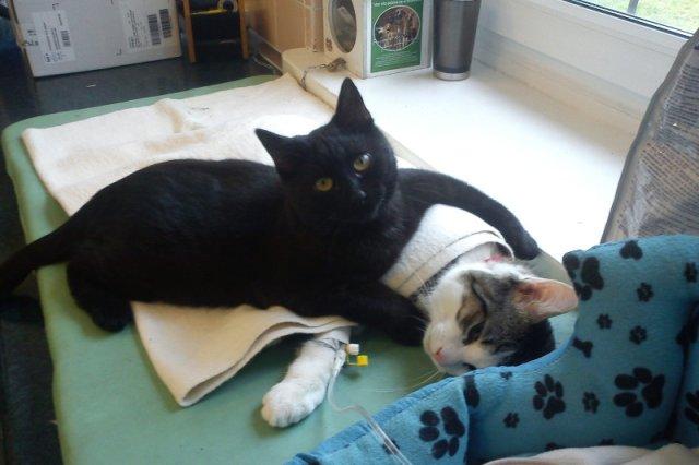 """Rademenes od pół roku asystuje przy zabiegach sterylizacji i kastracji. Pracownicy nazywają go """"kot–pielęgniarz""""."""