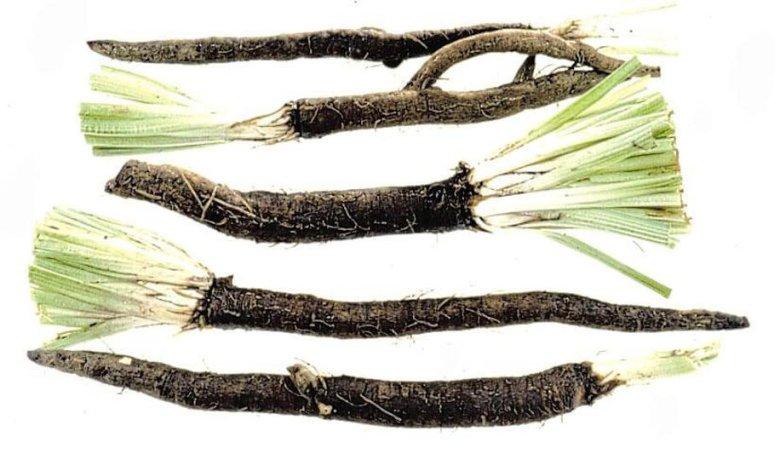 Skorzonera to brzydkie warzywo o ciekawym smaku.