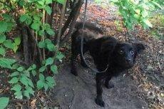 Pracownicy Animal Patrol szukają poprzedniego właściciela suczki znalezionej w Parku Staszica w Łodzi.