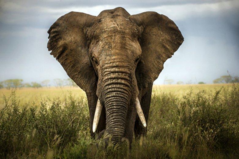 W Zimbabwe [url=http://www.shutterstock.com/dl2_lim.mhtml?src=eaZqfEUtgt0esGbCIuxOew-1-3&id=133689230&size=small_jpg&submit_jpg=] kłusownicy zabili 41 słoni. [/url]