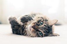 Mity dotyczące kotów wynikają z niezrozumienia kociej natury.