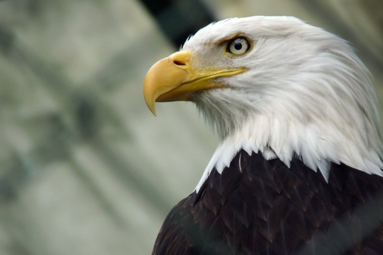Policja z Holandii rozważa zastosowanie orłów do walki z zagrożeniem, jakim są krążące po niebie niechciane drony