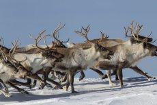 Na Syberii szykują się na ubój 250 tys. reniferów.