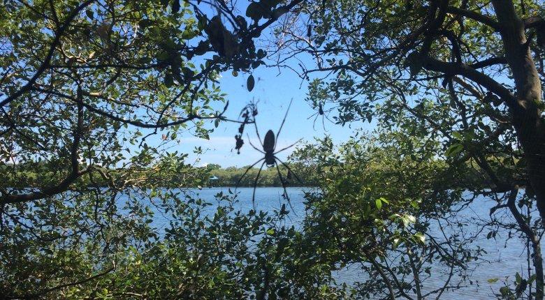 Owadożerne pająki wielkości wnętrza dłoni  można spotkać między gałęziami krzewów i drzew przy mało uczęszczanych ścieżkach, Gili Meno, 2016