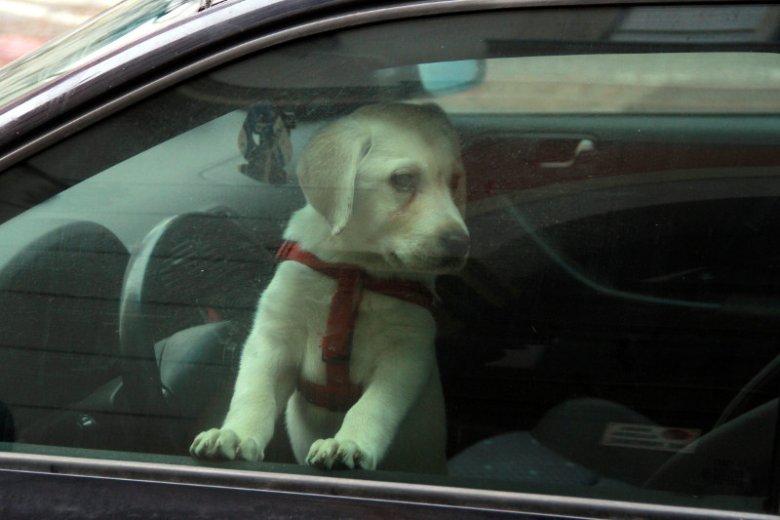 Pies dwa dni spędził w zamkniętym samochodzie. Uwolniła go policja. (zdjęcie poglądowe)