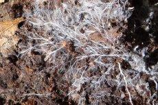 Tak wygląda grzybnia w warunkach naturalnych.