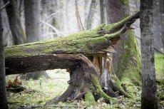 Rozpoczęła się wycinka drzew w Puszczy Białowieskiej
