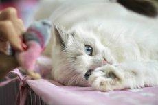 Depresja u kota to poważna choroba. Jeśli nie będzie leczona w porę, może skończyć się śmiercią zwierzęcia.