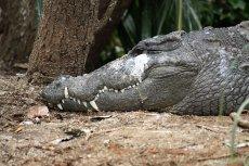 Ciało dziennikarza zaatakowanego przez krokodyla znaleziono dzień później.
