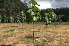 Drzewa przyszłości rosną także na terenie Polski.