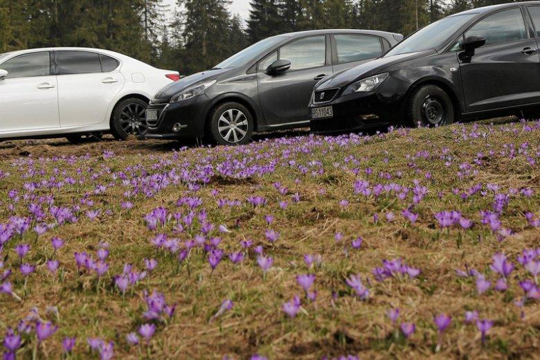Tysiące turystów zjechało się w Tatry podziwiać kwitnące krokusy.