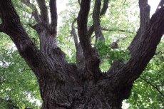 Kolejni proboszczowie parafii w Cielętnikach robią wszystko, by chronić wiekowe drzewo przed pielgrzymami