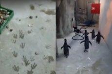 Pingwiny z Madagaskaru próbowały uciec z zoo.