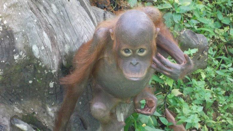 Młody orangutan w azylu dla uratowanych osobników