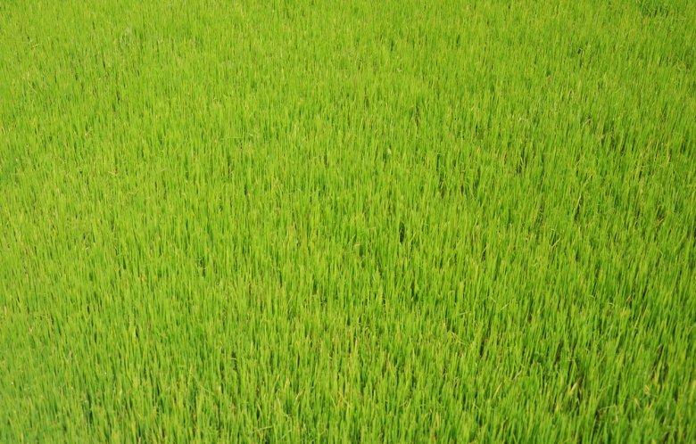 Tak rośnie ryż