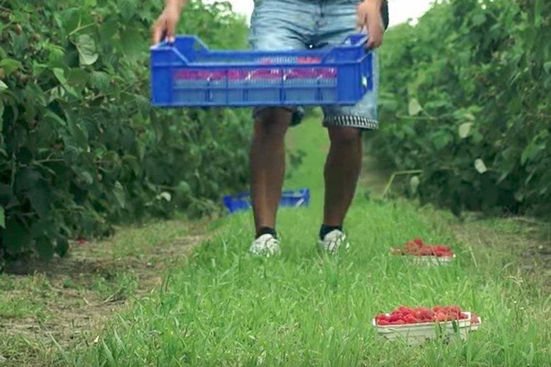 Cena malin jest bardzo niska. Plantatorzy z powiatu kraśnickiego apelują do rządu o pomoc.