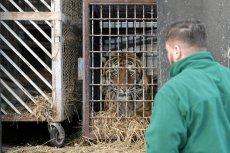 Tygrys był źle karmiony.