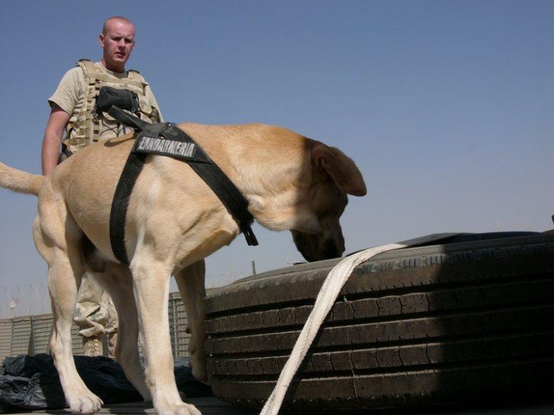Jeden z psów wykrywających materiały wybuchowe, który służy w Afganistanie.
