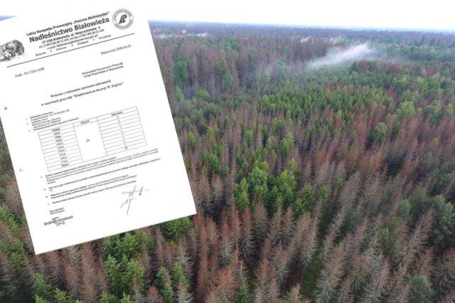 Tysiące martwych świerków w Puszczy Białowieskiej. Do tego doprowadził sprzeciw ekologów przeciwko wycince pierwszych 29 drzew zajętych przez kornika.