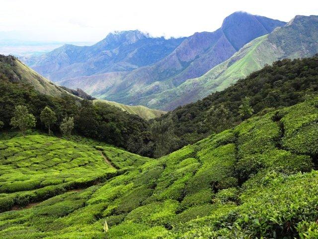 Plantacja herbaty w okolicach Munnar