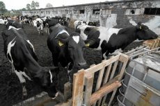 Coraz niższe ceny mleka martwią brytyjskich rolników