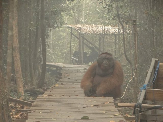Pożary uniemożliwiają oddychanie. Przyczyniają się do śmierci orangutanów.