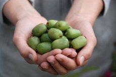 Naukowcy z SGGW stworzyli polskie odmiany minikiwi