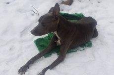 Niedaleko schroniska w Celestynowie podrzucili  skrajnie wycieńczonego psa.