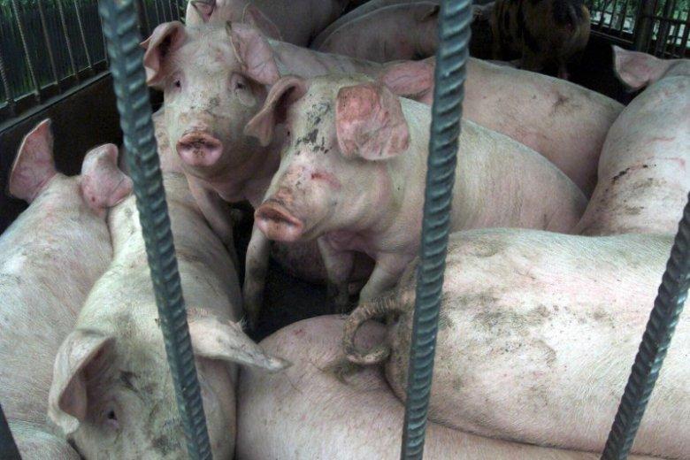 Wieprzowina z terenów objętych wirusem ASF trafi teraz do puszek.