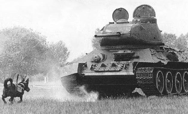 Radziecki pies używany do walki z czołgami