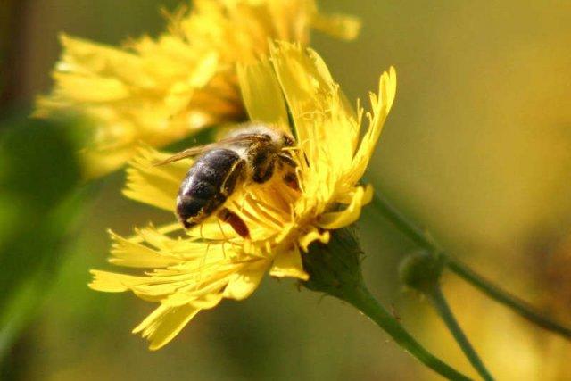 Co robi państwo, by chronić pszczoły?