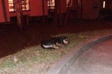 Pies czeka na właścicielkę. Pojawiły się informacje, że kobieta nie żyje…