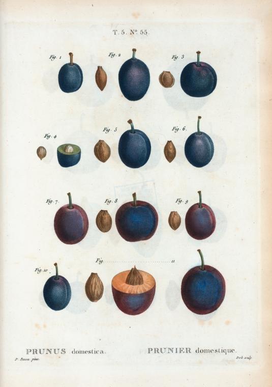 Prunus domestica, Redouté, Pierre Joseph, 1759-1840