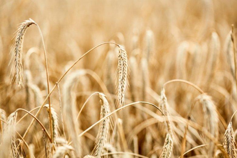 Destylat na wódkę rzemieślniczą powstaje z żyta z lokalnych upraw