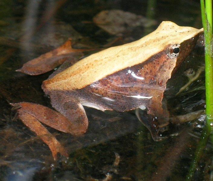 Żaba Darwina