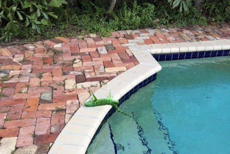 Atak zimy na Florydzie. Z drzew spadają zamarznięte legwany.