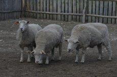 Lemingi są passé. Po wygranej PiS-u zastąpiły je owce