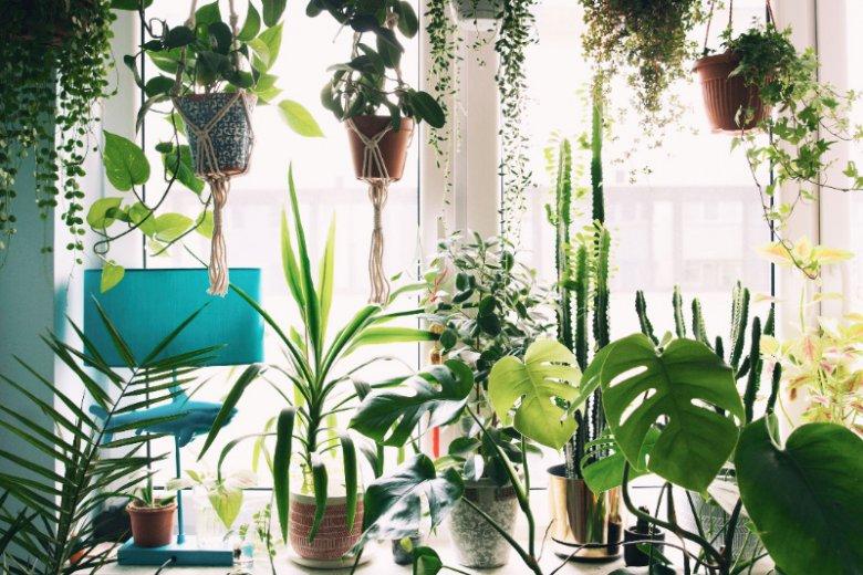 Do stworzenia zielonej zasłony przydają się makramy, które można powiesić w okolicy okna.