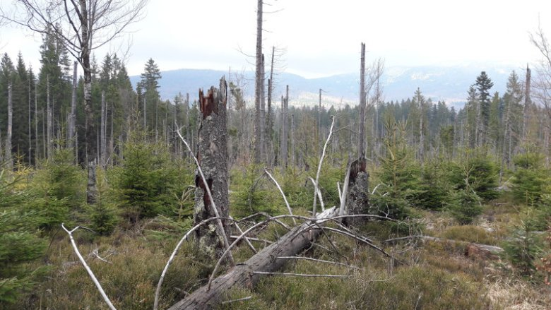 Las Bawarski odradza się.