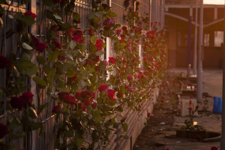 Kolejarze wycięli drzewa w Piastowie. Mieszkańcy żegnają je różami